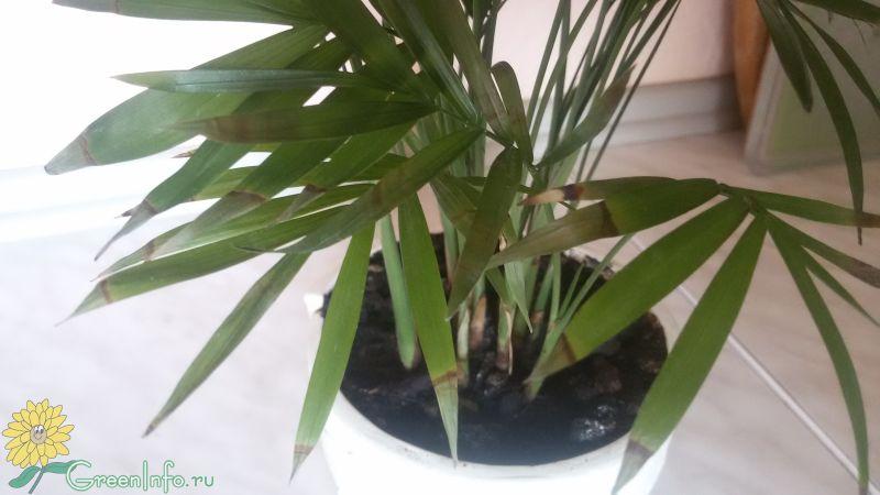 Почему у хамедореи сохнут листья