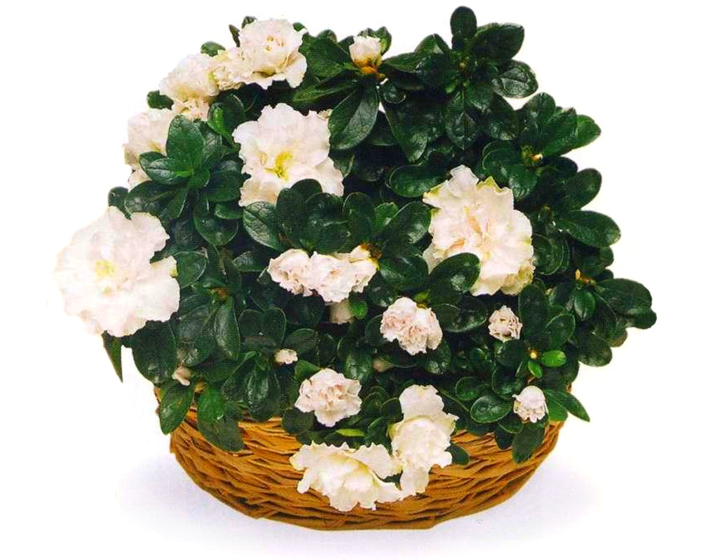Цветок азалия как ухаживать