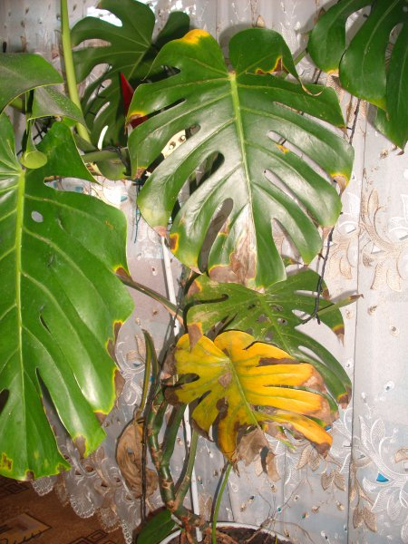 Что делать у монстеры желтеют листья