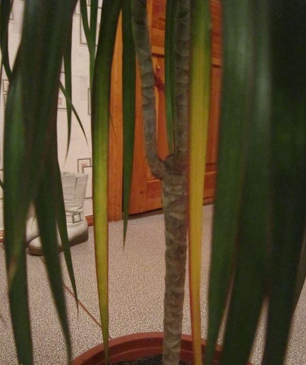 Почему у драцены желтеют и опадают листья