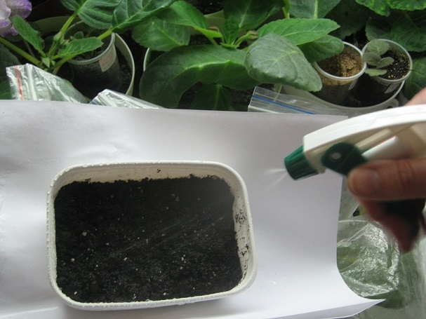 как сажать семена глоксинии