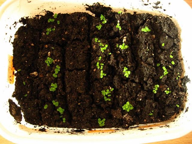 глоксиния семенами выращивание