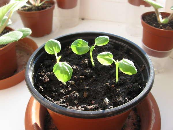 Гибискус из семян