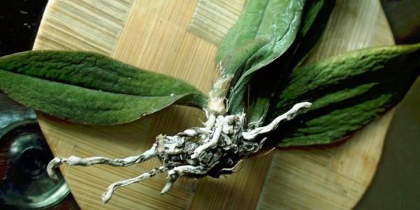 Орхидеи болезни листьев как лечить фото