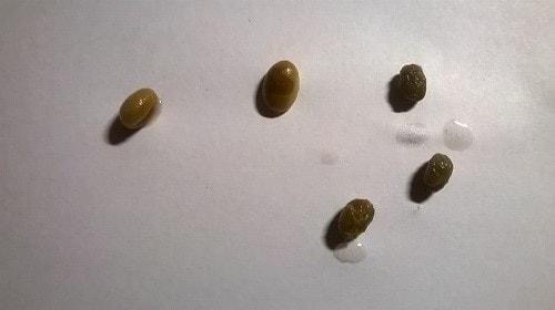 кофейное дерево из семян