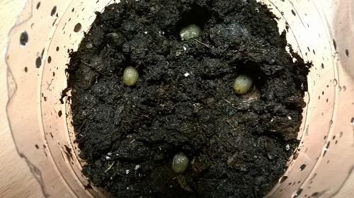посадка кофе семенами