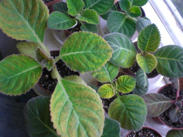 глоксиния сохнут листья