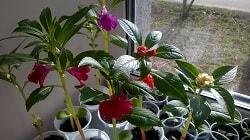 Посев рассады Бальзамина и выращивание ее