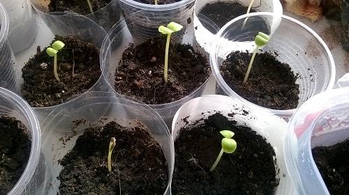 Бальзамин из семян в домашних условиях