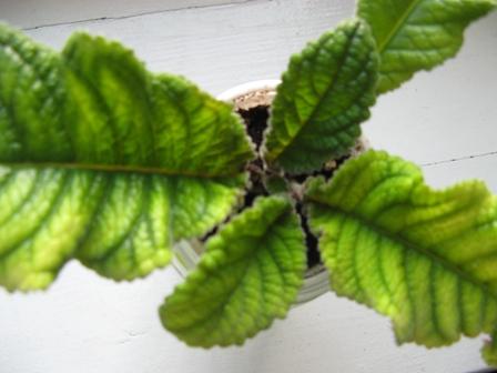 желтеют листья глоксинии