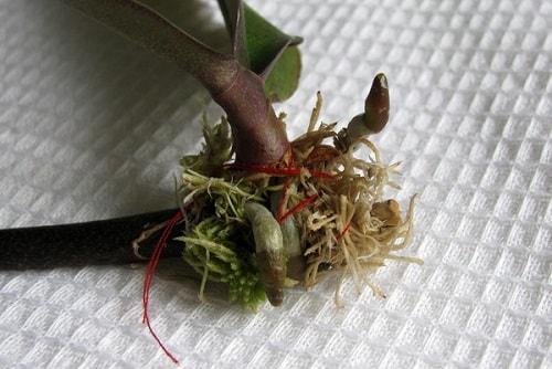 Мазь для орхидеи для роста цветоносов